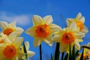 daffodils-spring