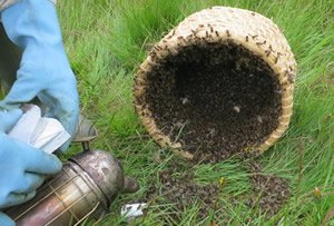 Skep lying on ground with bees entering. Smoke canister in foreground.