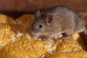mouse sitting on bread
