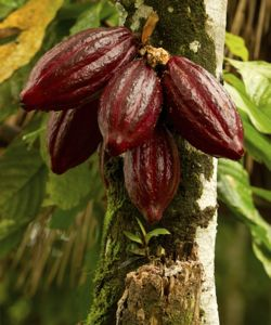 Cocoa plant and fruit
