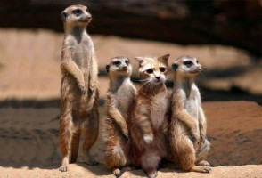 A cat amongst meerkats