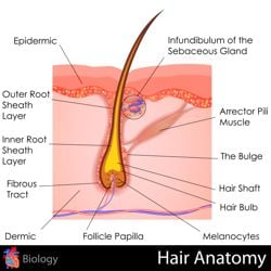 Illustration of hair anatomy