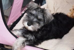 Susie-Belle Schnauzer puppy in a pink dog bed with a cuddly toy