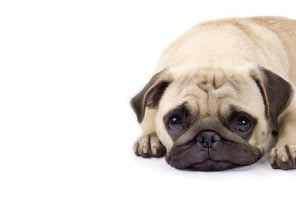 closeup picture of a cute pug with sad eyes.