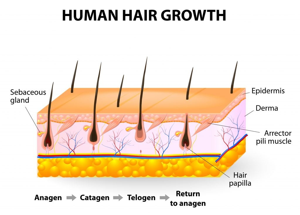 Hair-follicle cycling. anagen is the growth phase; catagen is the regressing phase; and telogen, the resting or quiescent phase.