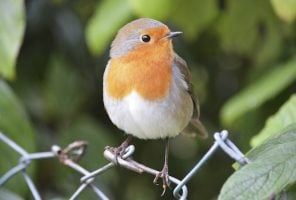 Robin sitting on a wire fence