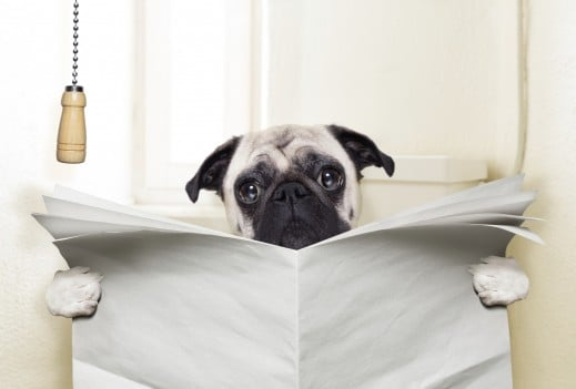 pug dog sitting on toilet and reading magazine having a break