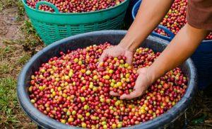 Fair Trade farmer hands in coffee beans