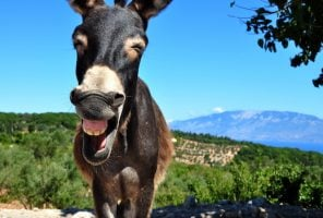 A laughing donkey