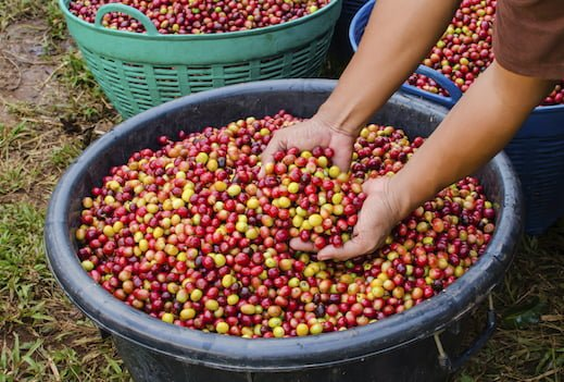 arabica coffee beans - fair trade