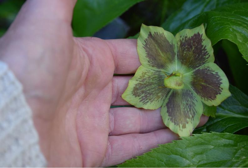 hand holding hellibore leaf