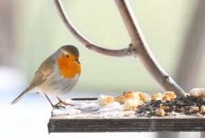 Robin at bird feeder