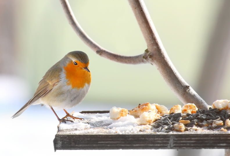 Robin at bird feeder