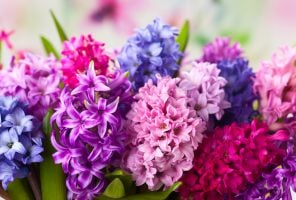 Group of beautiful multicolored hyacinths