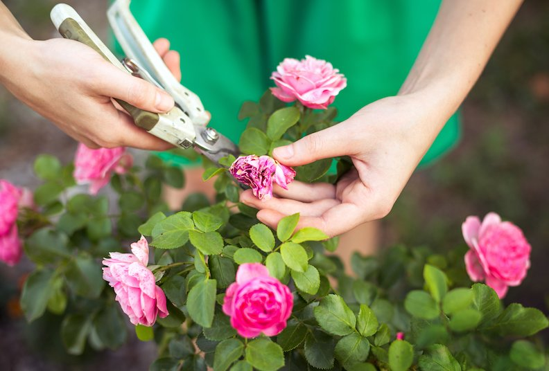 Woman cuts or trims the bush (rose) with secateur in the garden